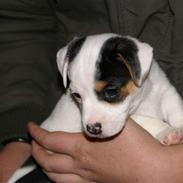 Louis - Min jack russell terrier :D