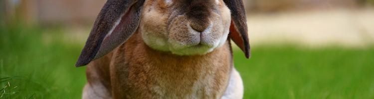 Værd at vide om kaniner, inden du køber!
