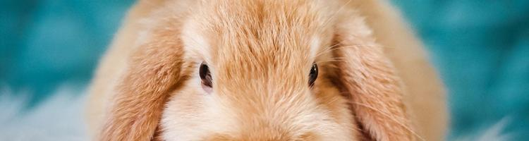 Dette skal du huske, når du bringer din kanin hjem for...