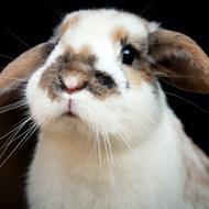 Vangs kaniner
