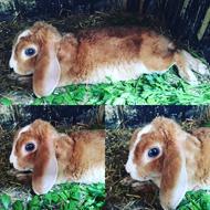 Glade-kaniner avl af Dværgvædder Rex /satinrex