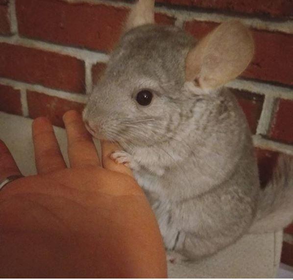 chinchilla parring tilbydes