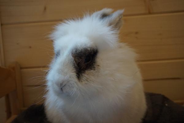 Kanin med våde øjne