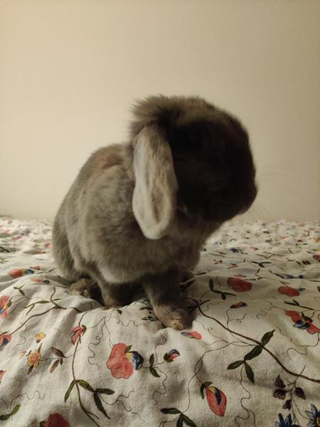 Skal jeg adoptere en kanin nr. 2?