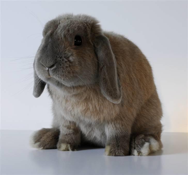 dværgvædder kanin
