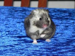 Hamster Gertrud