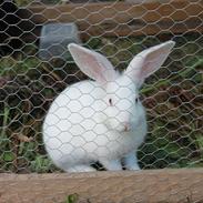 Kanin mini