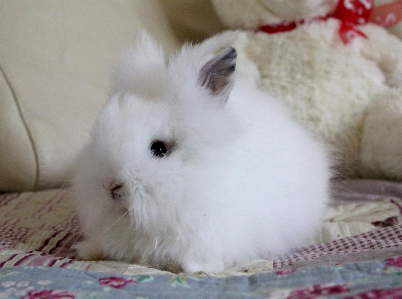 Kanin Preben dværg teddy - Billeder af gnavere - Uploaded af tania l