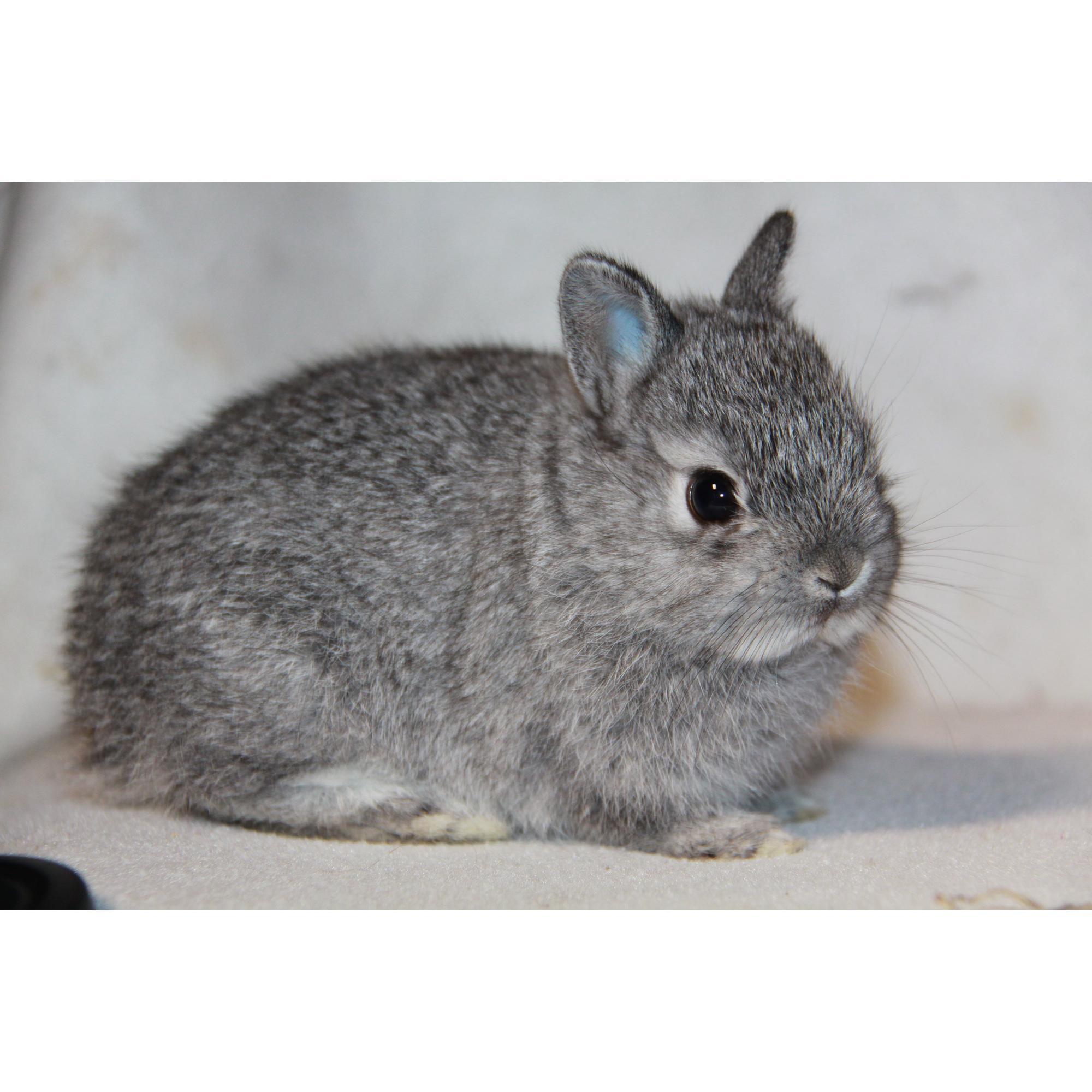 chinchilla kanin