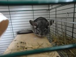 Chinchilla Lula
