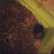 Ørkenrotte ~*Team Pet*~'s Kiwi <3