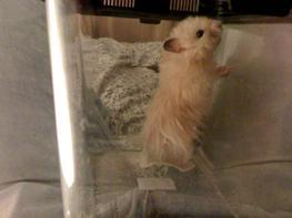 Hamster HamHam