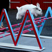Kanin | Møllerhusets Anton | Dværgvædder |