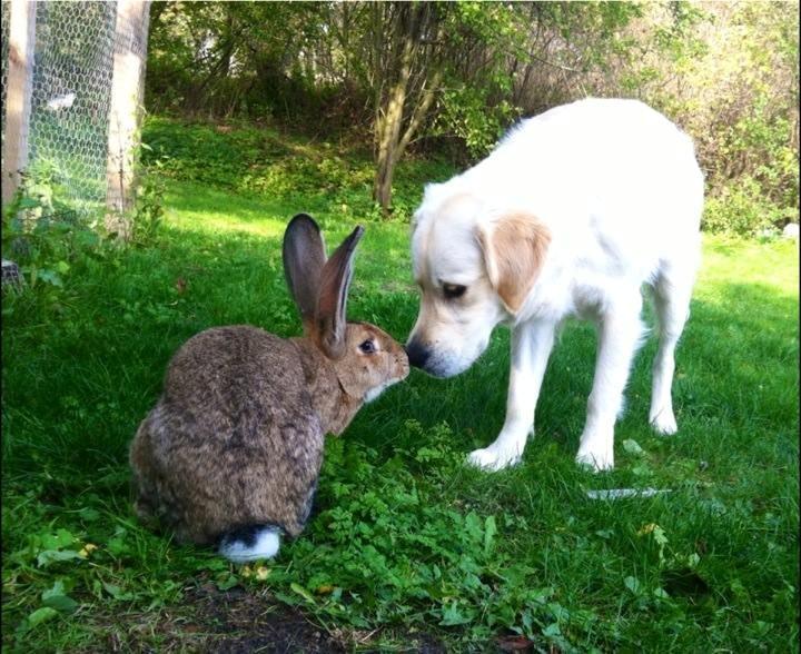 belgiske kaniner