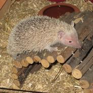 Pindsvin Pixie (lille tenrec)