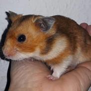 Hamster Sigfus