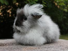 Kanin Viper (EA)
