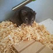 Hamster Hamsterhusets Obsidian *RIP*