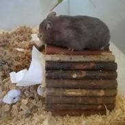 Hamster Hamsterhusets Obsidian
