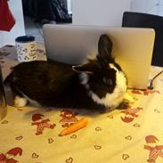 Kanin Buller