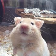 Hamster Charlie