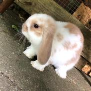 Kanin Pipi : mini lop