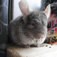 Chinchilla Rico