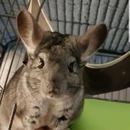 Chinchilla Bastian