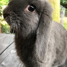 Kanin Dværgvædder Bertil