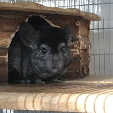 Chinchilla Bella