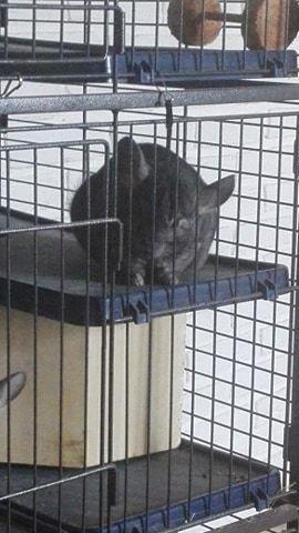 Chinchilla Baloo - Baloo er MEGET nysgerrig :D billede 3