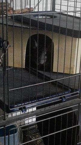 Chinchilla Baloo - Baloo skal lige kigge hvad mor laver :) billede 8