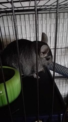 Chinchilla Baloo - Baloo holder øje :) billede 1