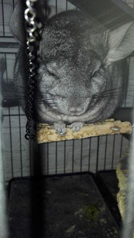 Chinchilla Baloo - Baloo tager sig en lur på hængebroen :) billede 10