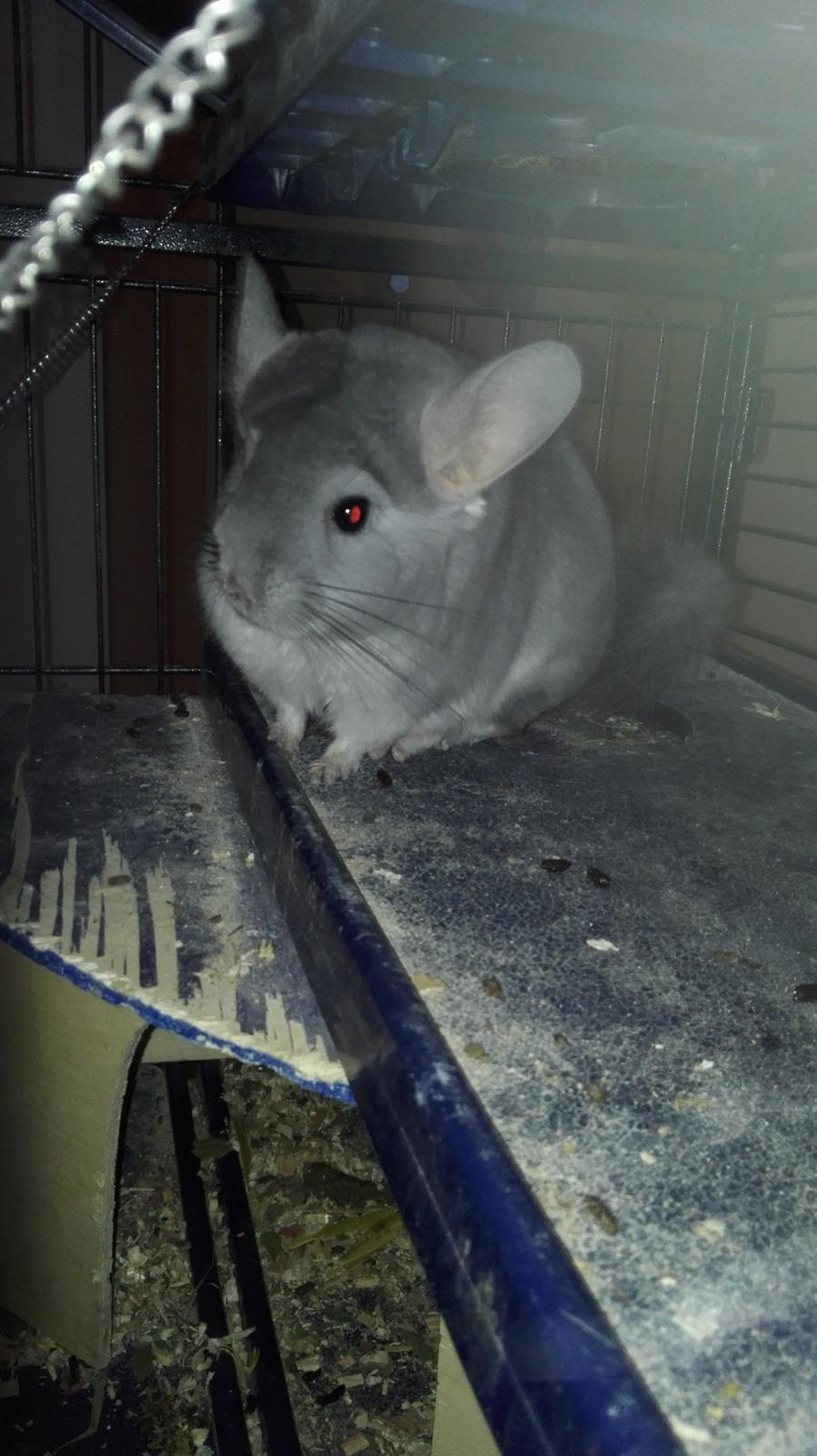 Chinchilla Meeko - Meeko er forsigtig men stadig nysgerrig 😍 billede 2