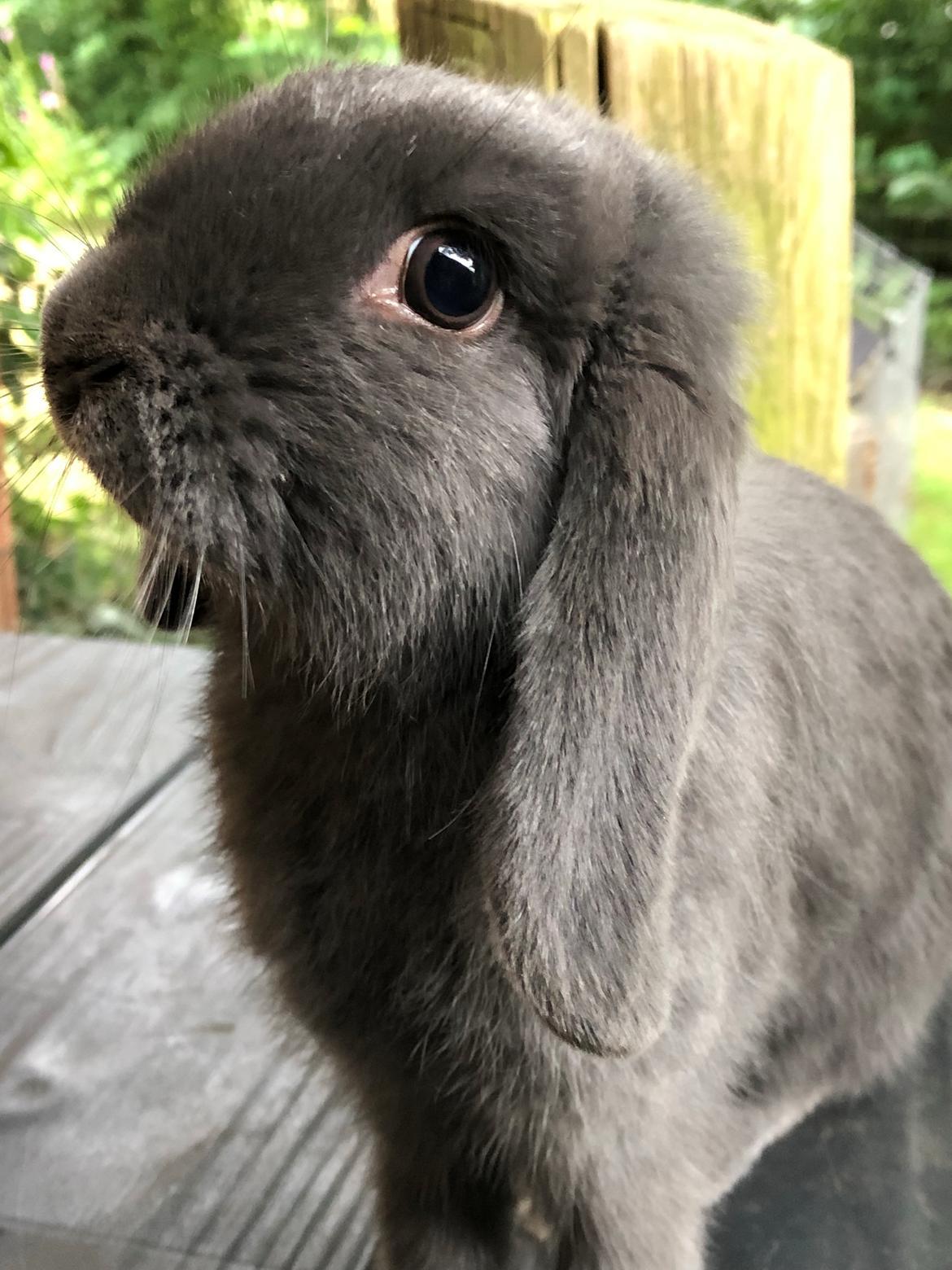 Kanin Dværgvædder Bertil billede 1