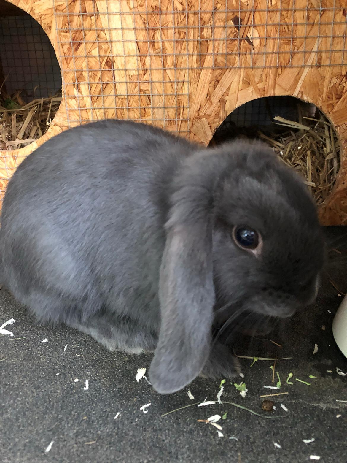 Kanin Dværgvædder Bertil billede 5