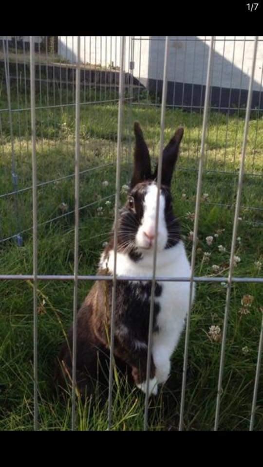 Kanin nusse  billede 1