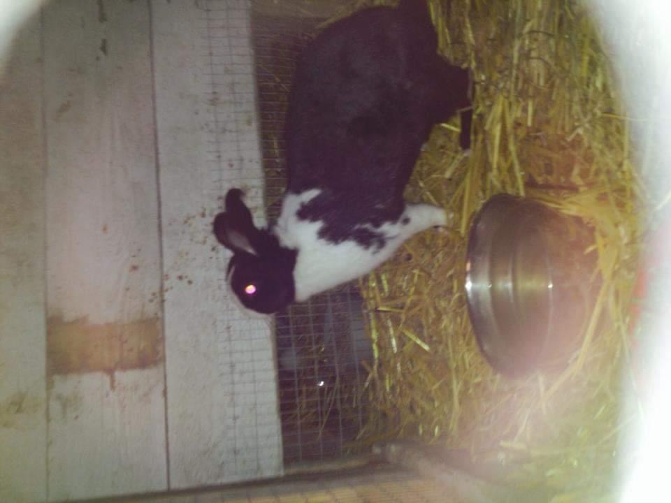 Kanin nusse  billede 5