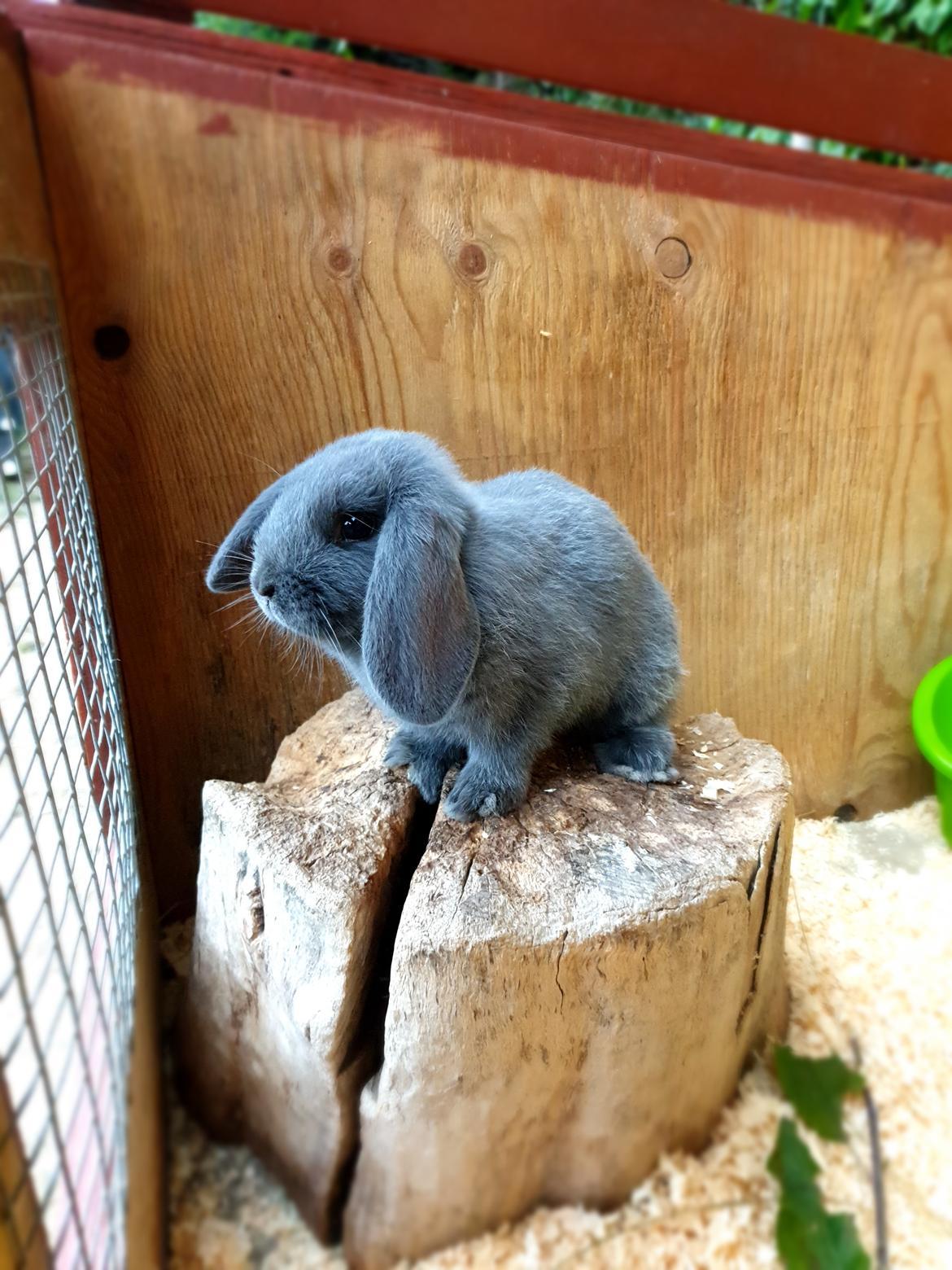Kanin Alba - Hun elsker sin træstub i buret :) billede 8