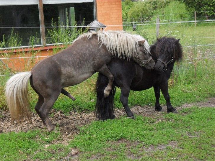 Bedækning af de skønne damer - Diverse hest - Fotos fra