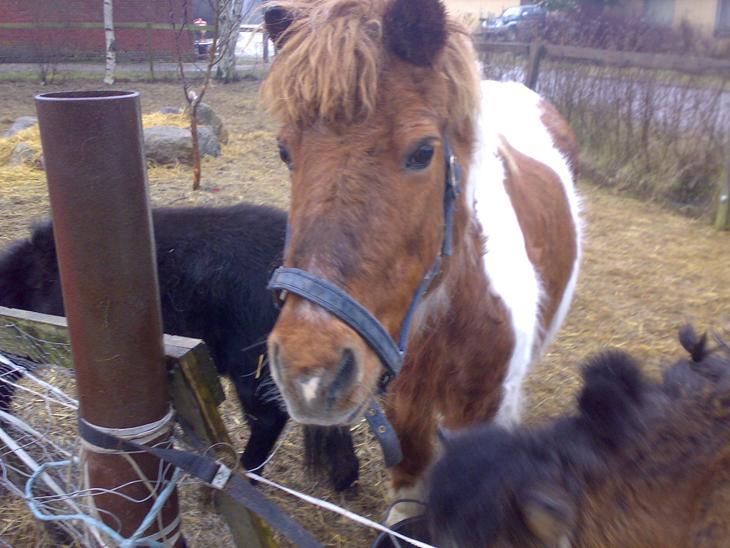 Min hverdag - Min gamle islænder Wopper(-: