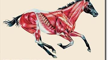 Hvad sker der i hestens muskler under træning?