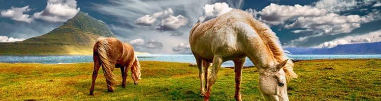 Lindring af kroniske smerter hos heste: CBD olie