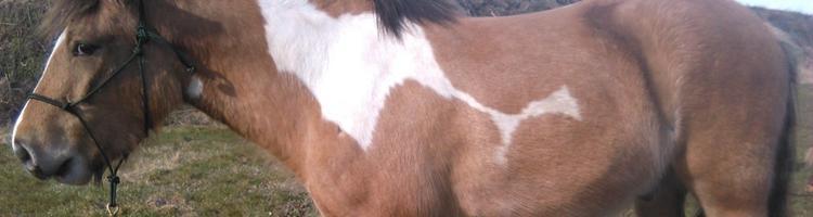 Hestens skulderblad/forben