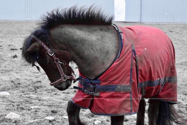 Klippe hest fuldt i løsdrift