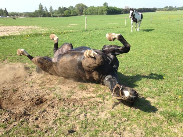 hvordan sover heste