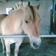 Fjordhest Attilla*Gamle pony*