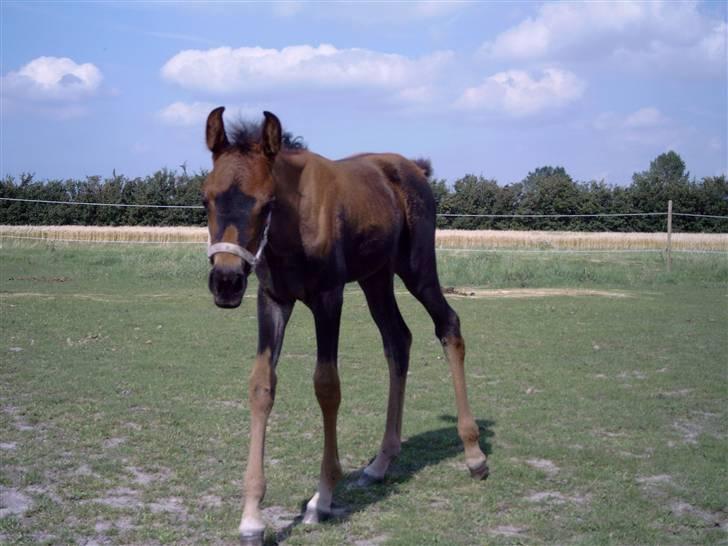 Arabisk fuldblod (OX) Impala bint gazelle ox - Impala i gang med at fælde ;D billede 2