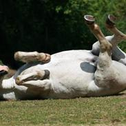 Welsh Pony (sec B) Kruchovs Dondey